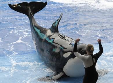 A killer whale in SeaWorld