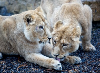 Two 19-month-old Asian lion cubs at Dublin Zoo