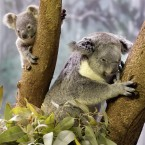 A 9-month-old baby koala, left, ventures from his mother at the Cleveland Metroparks Zoo in Cleveland, 2010. (AP Photo/Amy Sancetta)