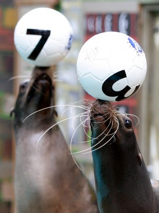 Paul the Octopus, eat your heart out: sealions Max and Biffo pick the Lucky Star numbers for the Knowsley Safari Park EuroMillions syndicate.