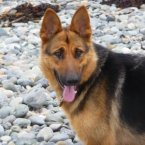 Soufrie's owner is emigrating due to employment difficulties in Ireland and cannot take the young dog too. She is described as having a good temperament and is good on the leash. (Image: Madra.ie)