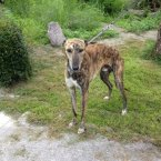 Small for his breed, Tiger is a Whippet Lurcher and a gentle dog. (Image: Madra.ie)