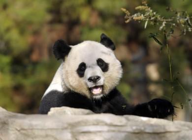Mei Xiang, the female giant panda who gave birth last week.