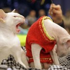 Kittens quarrelling over a red jumper because they like to keep warm and cosy for winter in style. (AP Photo/Sergei Grits)