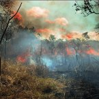 The bush fire also helps to germinate some desirable forest trees and plants. Hardwood trees such as the Mpingo are usually left unscathed.