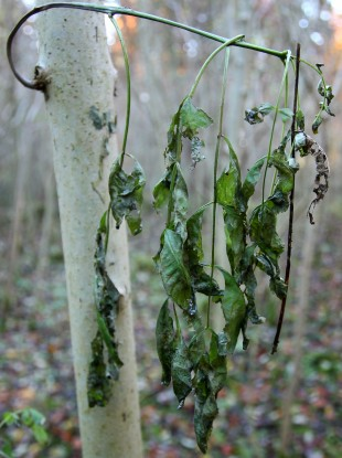 A general view of a young Common Ash Tree with wilting leaves