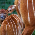 An eastern bongo calf, born in the African Plains in February. (Image: Patrick Bolger).