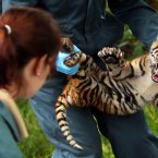 Vets at Chester Zoo perform a health check and discover the sex of the tiger cubs. (Peter Byrne/PA Wire)