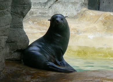 File photo of a South American fur seal