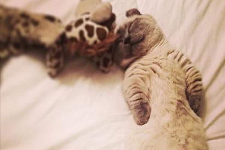 meet yoda the munchkin kitten the daily edge