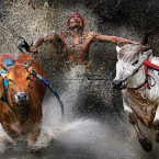 A competitor and his charges reach the finish of a bull race, in Batu Sangkar, West Sumatra. Pacu Jawi is a 400-year-old tradition in the area, held after the rice harvest once the paddies have been cleared.<span class=