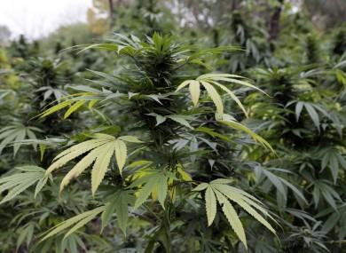 File photo of marijuana plants
