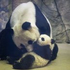 Bao Bao, the four and a half month old giant panda cub, is approached by her mother Mei Xiang in their indoor habitat at the Smithsonian's National Zoo in Washington. Bao Bao, who now weighs 17.38 pounds (7.9 pounds), was born to the zoo's female giant panda Mei Xiang and male giant panda Tian Tian. <span class=