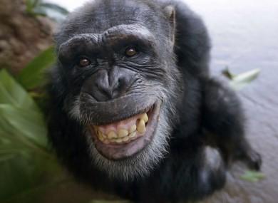 A chimpanzee, contraceptive status unconfirmed.