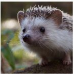 Biddy the hedgehog has nearly 300,000 followers who are (rightfully) obsessed with his antics and adventures.<span class=