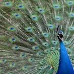A male peacock displays its tail feathers and shakes them to attract the attention of female peacocks at Gut Aiderbichl in Henndorf, Austrian province of Salzburg.<span class=