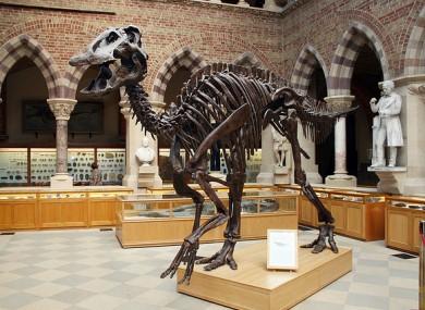 Grown-up edmontosaurus posed by model
