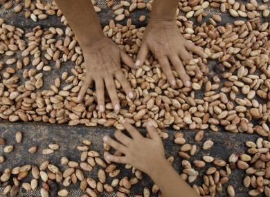 Cocoa beans drying in Peruvian farm.