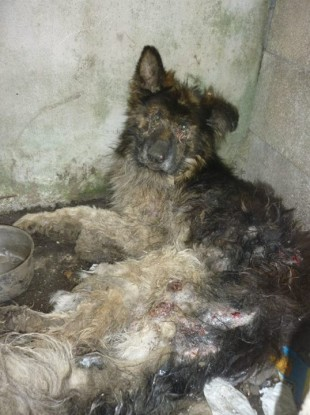 German Shepherd dog discovered by ISPCA in Clare. The dog had to be put down.