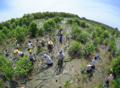 Volunteers join together and plant young tree in deep mud in mangrove reforestation project on September 16, 2014 in Samutsakorn, Thailand.