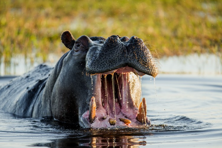 This African village is under siege by marauding killer hippos