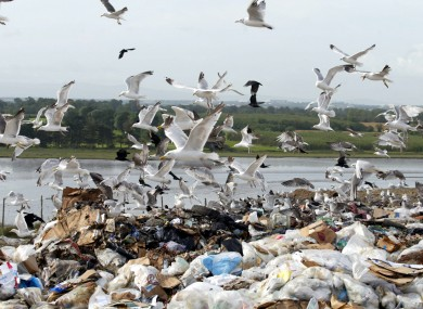 Seagulls feed of waste and rubbish in Dublin.