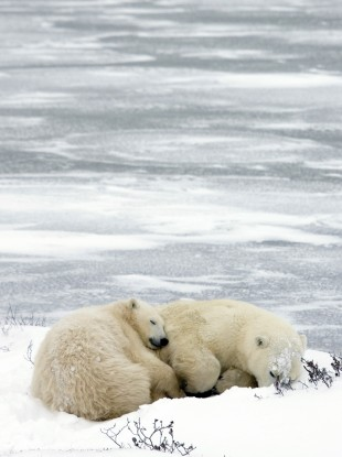 File photo of a mother polar bear and her cub sleep near the ice outside Churchill, Canada in 2006.