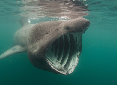 The basking shark is common in Irish waters.