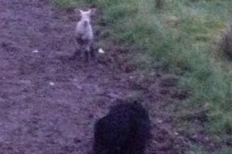 Firefighters used phone app with sheep noises to save lamb