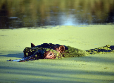 Hippopotami are a common sight on the Okavango River in Namibia.