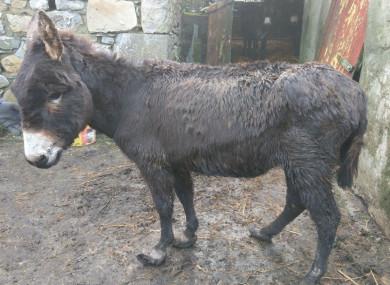 One of the 16 abandoned donkeys