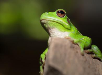 A Bolivian tree frog