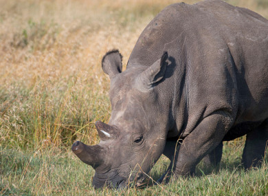 Close-up of one of the last surviving northern white rhinos.
