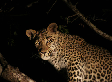 A leopard at night