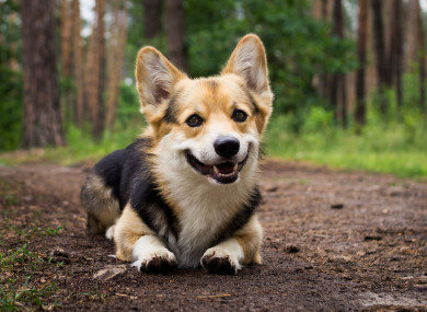 File photo of a corgi