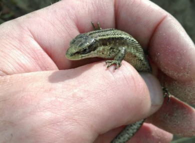 A lizard rescued by Dublin Fire Brigade in recent weeks.