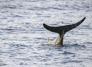 File Photo: Cuvier's beaked whale