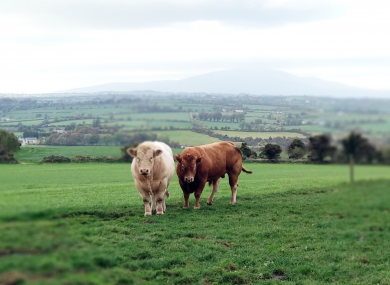Two of John Power's cattle graze at his farm in Waterford