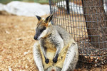 A kangaroo at the National Zoo & Aquarium in Canberra.