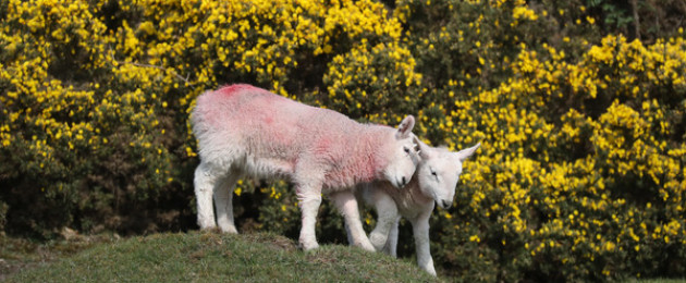 A pair of Easter Lamb twins, explore the Curragh Plain in Kildare, against the backdrop of furze bushes in full bloom.