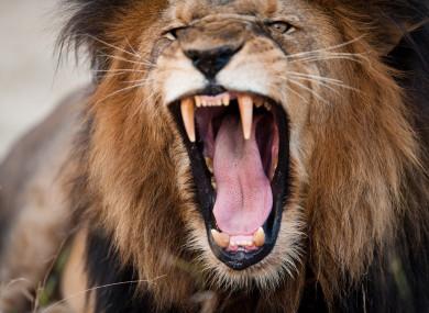 A roaring lion in Kruger National Park.