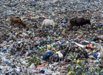 Cows seen feeding at the garbage dump site in Lhokseumawe, Aceh province, Indonesia.