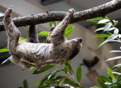 Matheo the sloth chilling out at Fota's Tropical House.