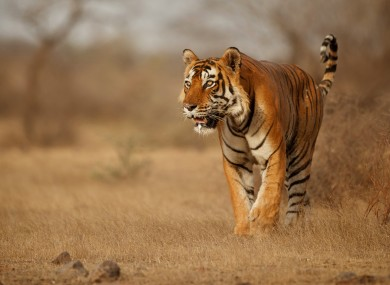 Tigers are an endangered species worldwide.