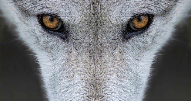Almost 250 years after the last native wolf was killed, is Ireland ready for the debate about bringing them back?