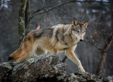The Endangered Species Act is credited with saving the grey wolf, bald eagle and grizzly bear.