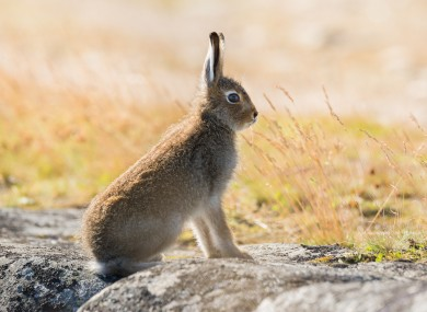 Experts fear the wild Irish hare could be under threat from the virus.