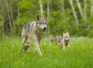 A grey wolf and cubs.