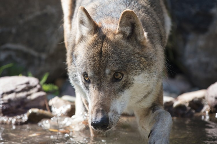 Seven wolves have been released into their 'large and