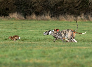 Dogs chase hares during an event in Clonmel, Co Tipperary (file photo)